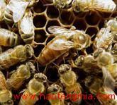 日本养蜂业