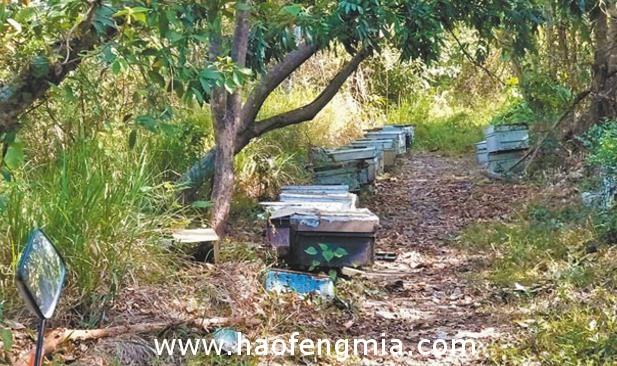 养蜂户把握天候开始采收龙眼花蜜