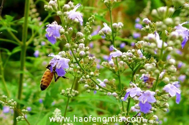我国主要的蜜源植物种类和花期常识