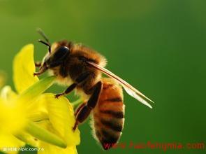 什么是中华蜜蜂?中华蜜蜂知识介绍