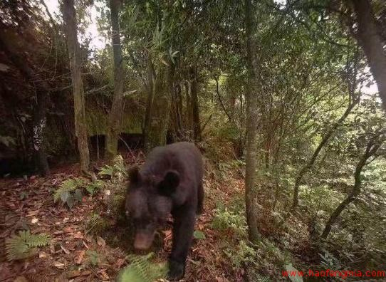 贵州习水黑熊偷吃养蜂人蜂蜜