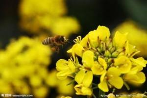 采蜜期蜂群如何管理?