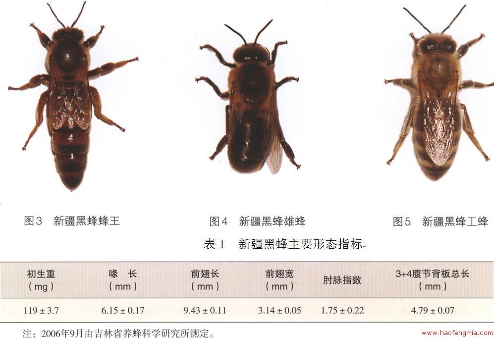 什么是新疆黑蜂?新疆黑蜂知识介绍