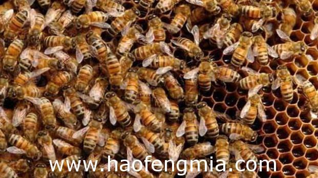 蜂群盗蜂的原因及其防止措施