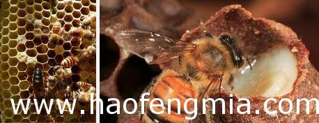 蜂巢多子是否失王?