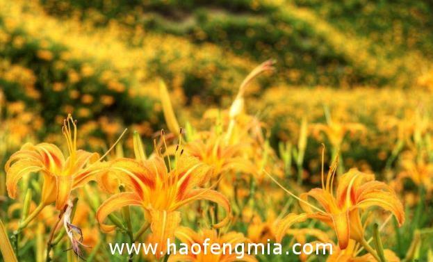 黄花菜蜂蜜饮治疗心悸