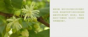 东北的椴树什么时候开花 椴树开花就流蜜吗