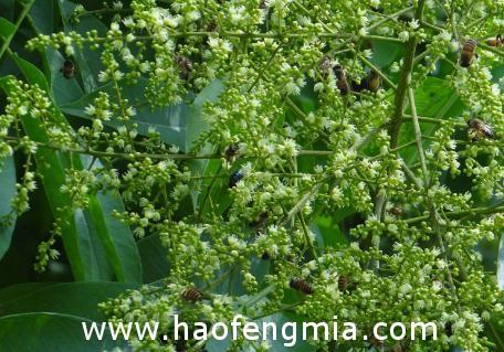蜜源植物如何栽培和保护?