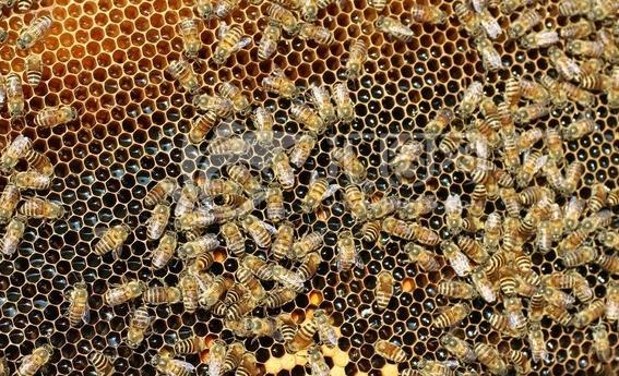 如何鉴别优良蜂种?优良蜂种有什么特点?