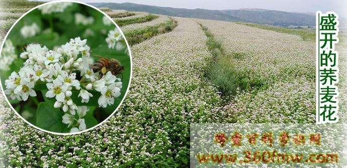 荞麦蜂蜜好吗?好蜂蜜之荞麦蜂蜜的作用与功效介绍