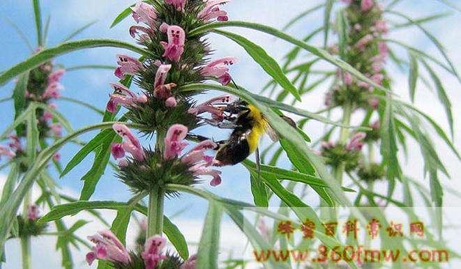蜂蜜中为何总检出禁用兽药氯霉素?