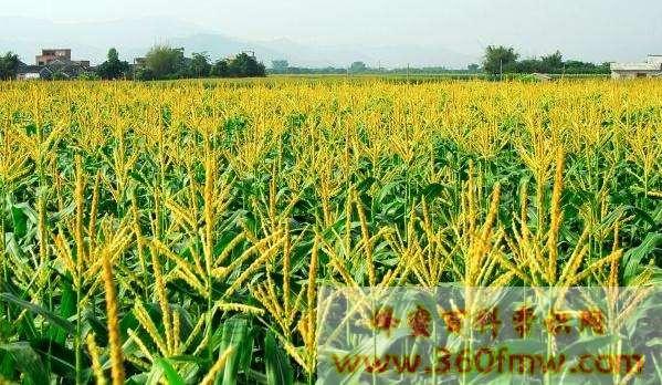 玉米有蜜吗 玉米蜜的功效与作用