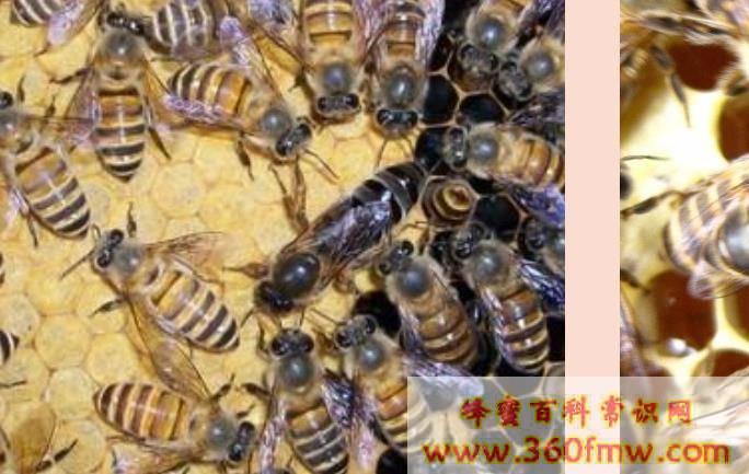春季怎样让蜜蜂多采蜜?