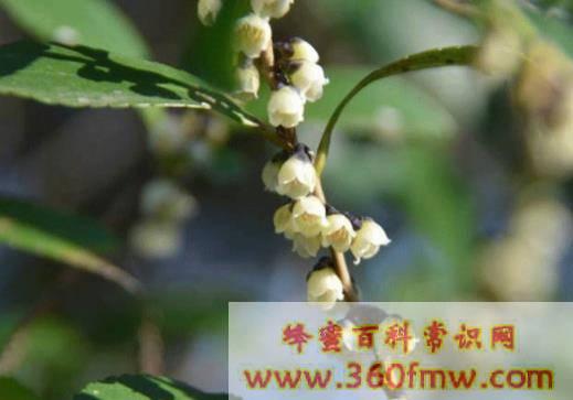湖南省桂东县:中国野桂花蜜之乡