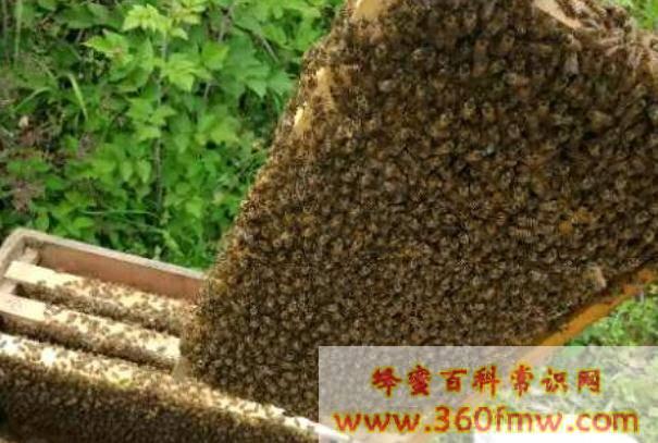中蜂怎么合并蜂群_中蜂合并蜂群的方法