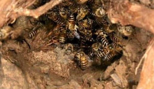 树洞里的野蜜蜂怎么引回家