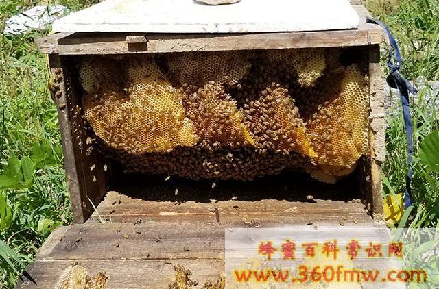 农村土蜜蜂高效养殖技术_农村土蜜蜂养殖技术