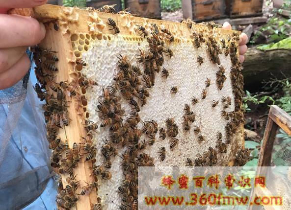 什么是蜂巢蜜?如何选购蜂巢蜜?