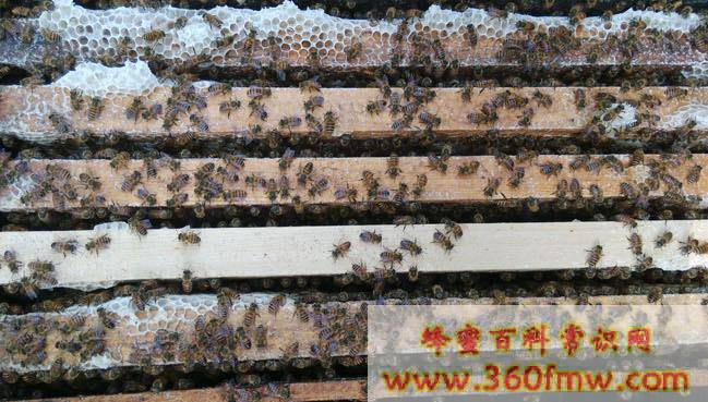蜜蜂小蜡螟形态特征、生活习性和防治方法