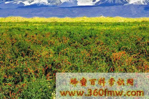 中国主要蜜源植物及分布介绍_中国主要蜜源植物