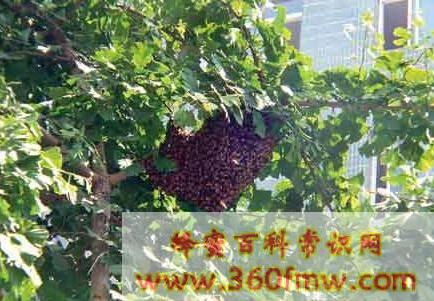 蜜蜂分蜂技术_蜜蜂什么季节分蜂