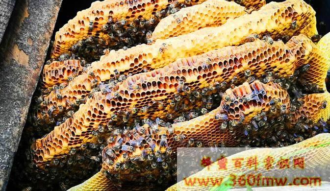 成熟蜂蜜的营养价值及功效  非成熟蜜不可比