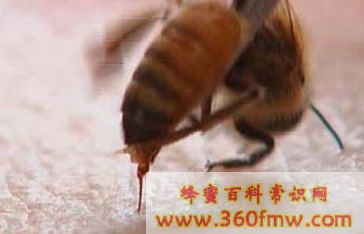蜂毒治疗的注意事项