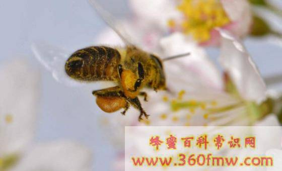 蜂毒不良反应的防治方法