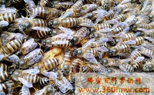 中蜂工蜂产卵补救方法 工蜂产卵处理不当导致灭