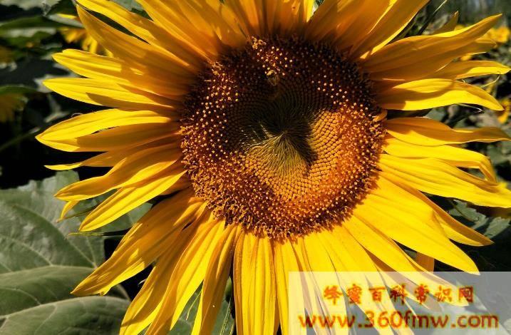 单花蜜的品种 单花蜜的功效