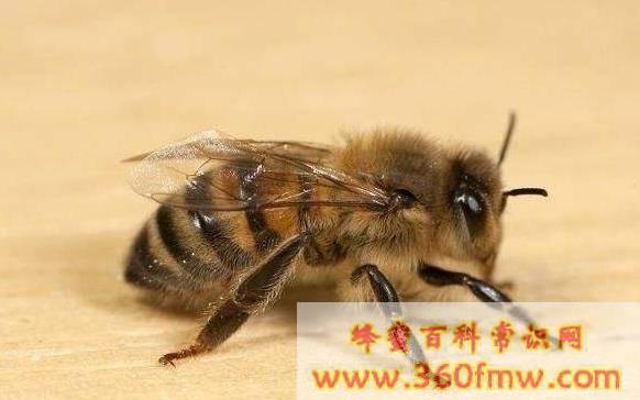 蜂群失王多久会造王台
