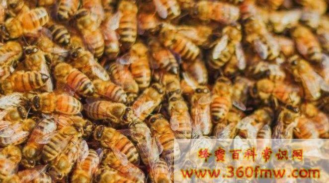 冬天养蜂怎么保温才正确