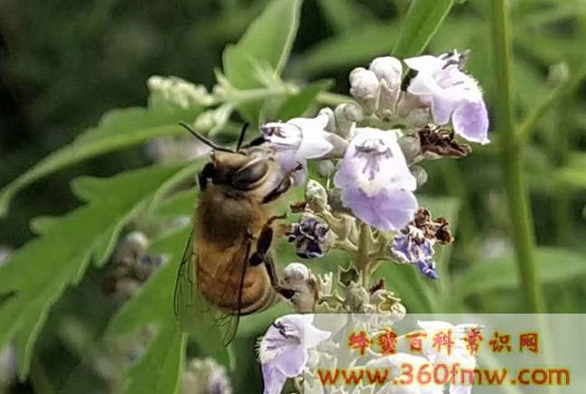 如何诱捕别人家的蜜蜂