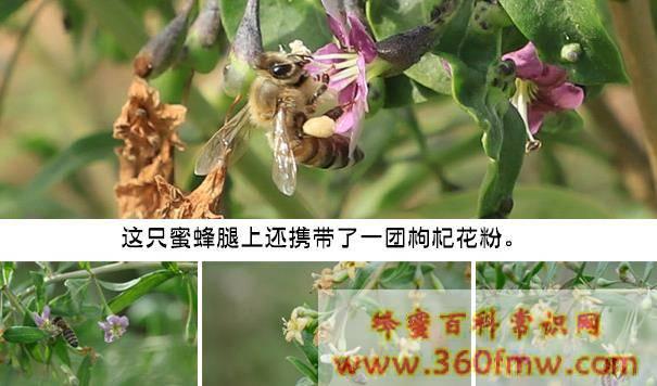 影响蜜源植物开花泌蜜有哪些因素
