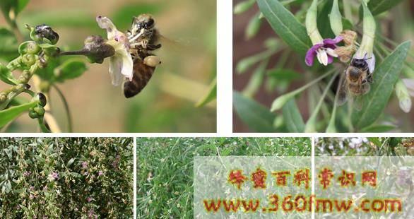 什么叫蜜源植物 粉源植物有哪些