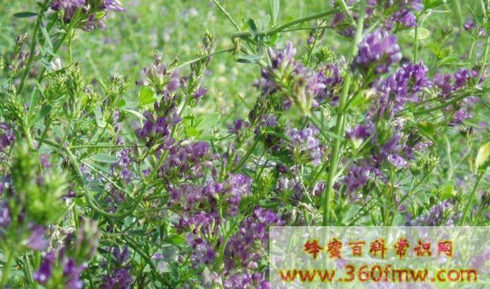 陕北蜜源植物是什么 陕北主要蜜源植物知识
