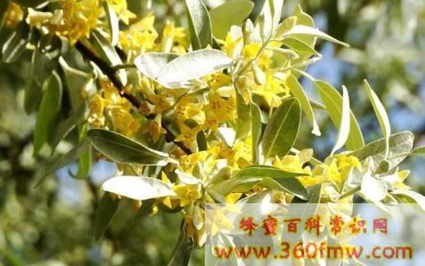 新疆北部蜜源植物介绍:新疆北部蜜源植物有那些