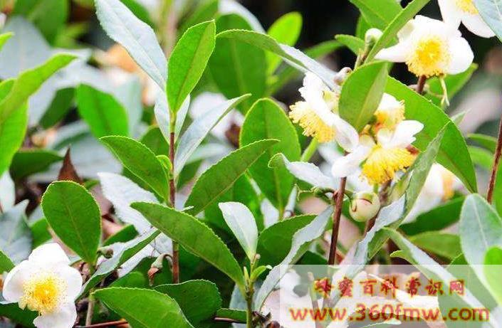 全球公认的31种有毒蜜源植物
