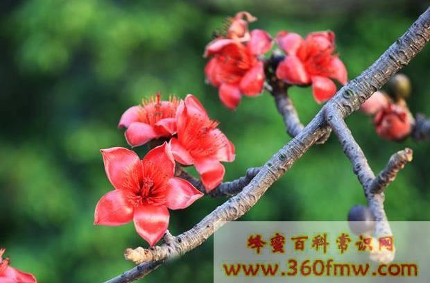 海南蜜源植物有那些_海南主要蜜源植物是什么