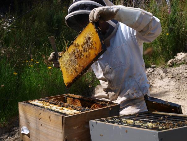 新西兰规范蜂蜜出口质量  麦卢卡蜂蜜严把质量关