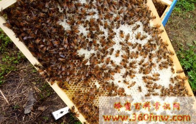 蜜蜂的囊状幼虫病的治疗