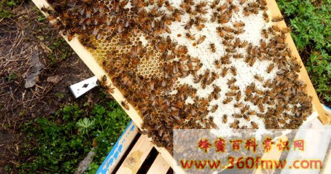 蜜蜂囊状幼虫病由什么引起