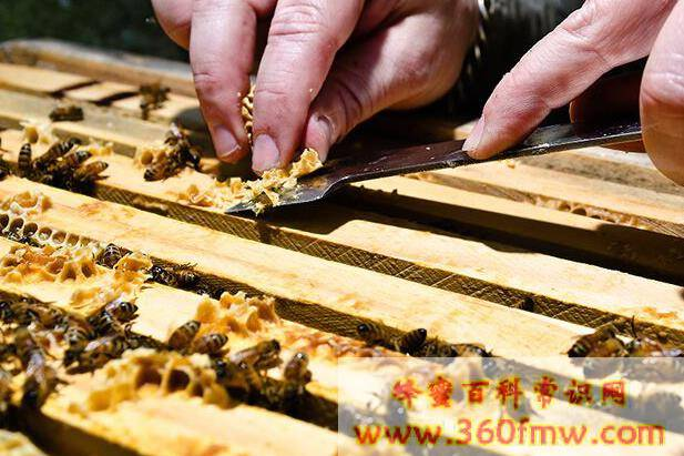 蜜蜂的蜂蜡可以吃吗