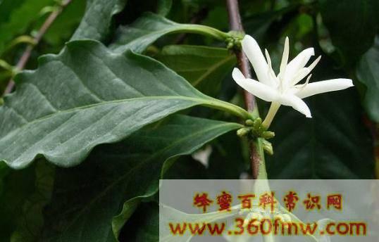 海南岛小果咖啡蜜源有那些?海南岛小果咖啡蜜源植物介绍