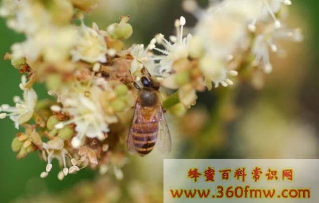 广东蜜源植物有那些?广东蜜源植物介绍