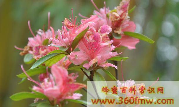 海南蜜源植物西南地区橡胶树蜜源有那些?西南地区橡胶树蜜源介绍