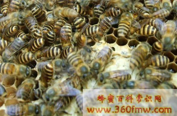 养蜂技术知识之蜂群箱外观察和巢内全面检查