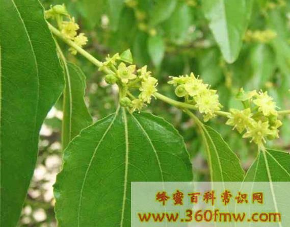枣树蜜源植物,枣树什么时候开花