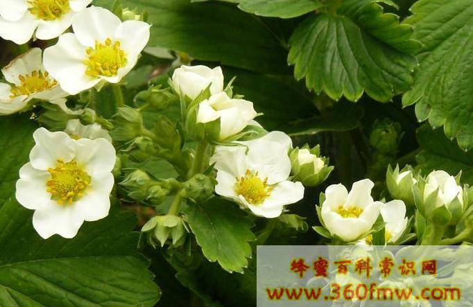 辅助蜜源植物主要有哪些种类