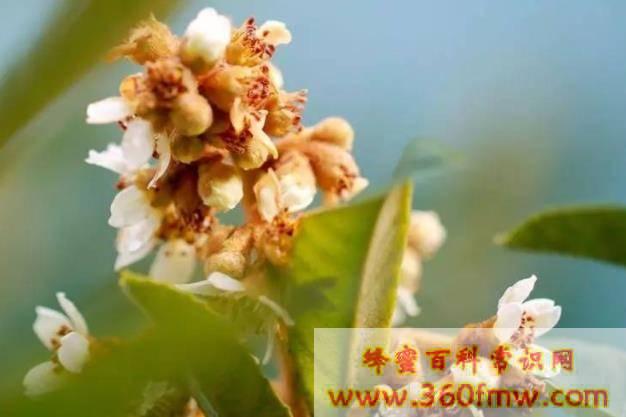 枇杷开花结果的时间 枇杷树什么季节开花